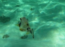 snorkeling en guadeloupe poisson coffre
