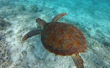 snorkeling en guadeloupe tortue