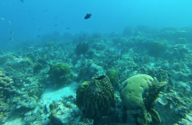 snorkeling en guadeloupe Eponge barique