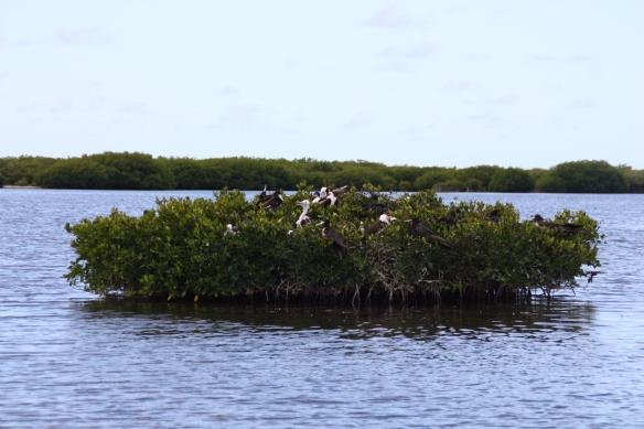 Mangrove Frégates Barbuda